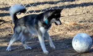 Породы собак среднего размера для квартиры - Аляскинский кли-кай
