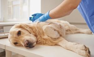 Прививка от бешенства собаке