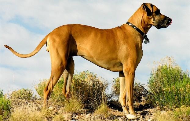 Невероятно огромные: ТОП-5 самых крупных пород собак