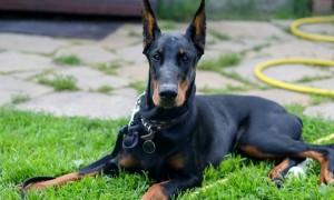 Собака доберман фото