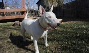 Средние породы собак для квартиры - Бультерьер