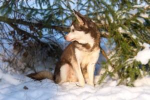 Аляскинский кли кай миниатюрный фото