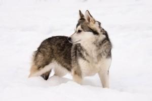 Аляскинский кли кай фото цена