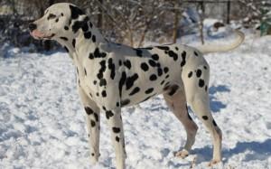 Далматин фото собаки