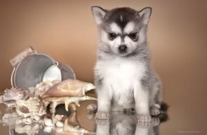 Купить щенка аляскинского кли кая