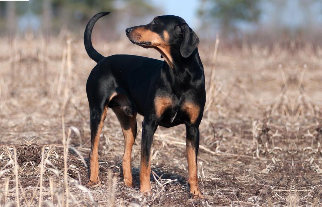 породы собак охотничьи с фотографиями и названиями