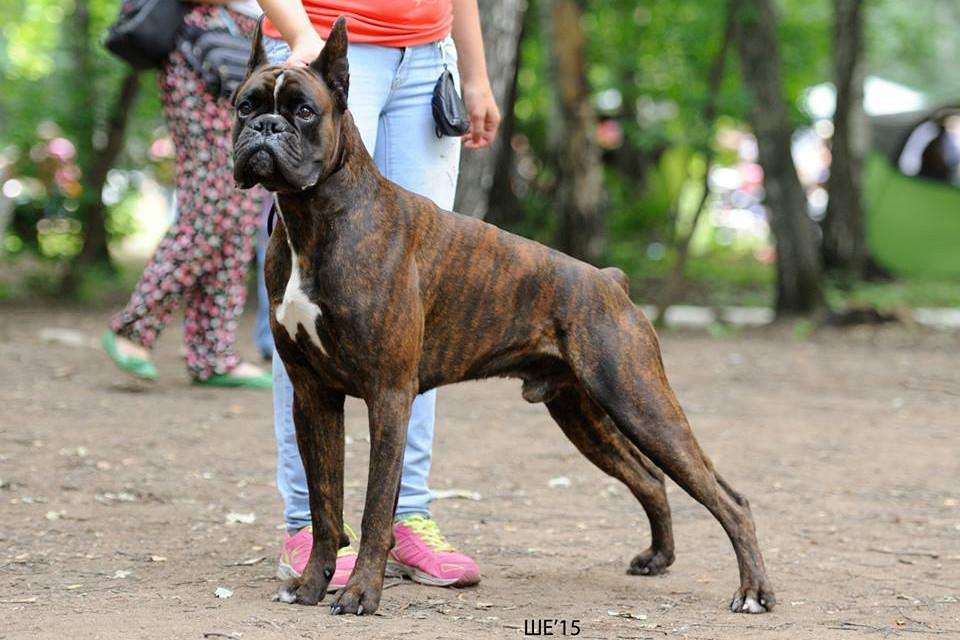 собака боксер размеры