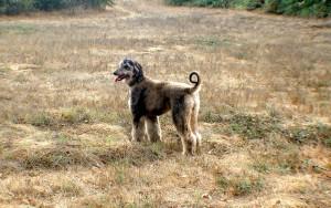 Охотничьи борзые собаки - Афганская борзая