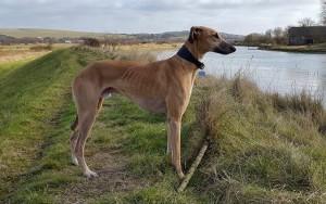 Охотничьи борзые собаки - Грейхаунд