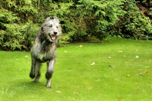 Охотничьи борзые собаки фото - Ирландский волкодав