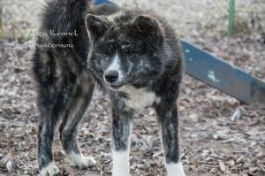 Порода собаки хатико акита ину