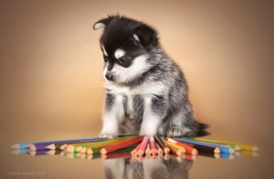Порода собак аляскинский кли кай фото щенка