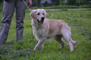 Порода собак золотистый ретривер фото