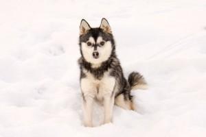 Собака аляскинский кли кай фото