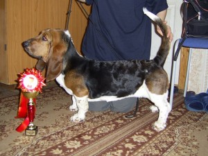 Собака бассет хаунд фото