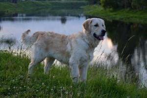 Собака золотистый ретривер фото