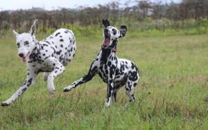 Собаки породы далматин фото