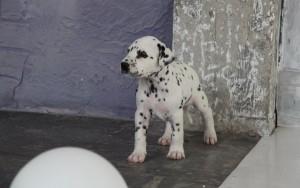 Щенок далматина фото 1 месяц