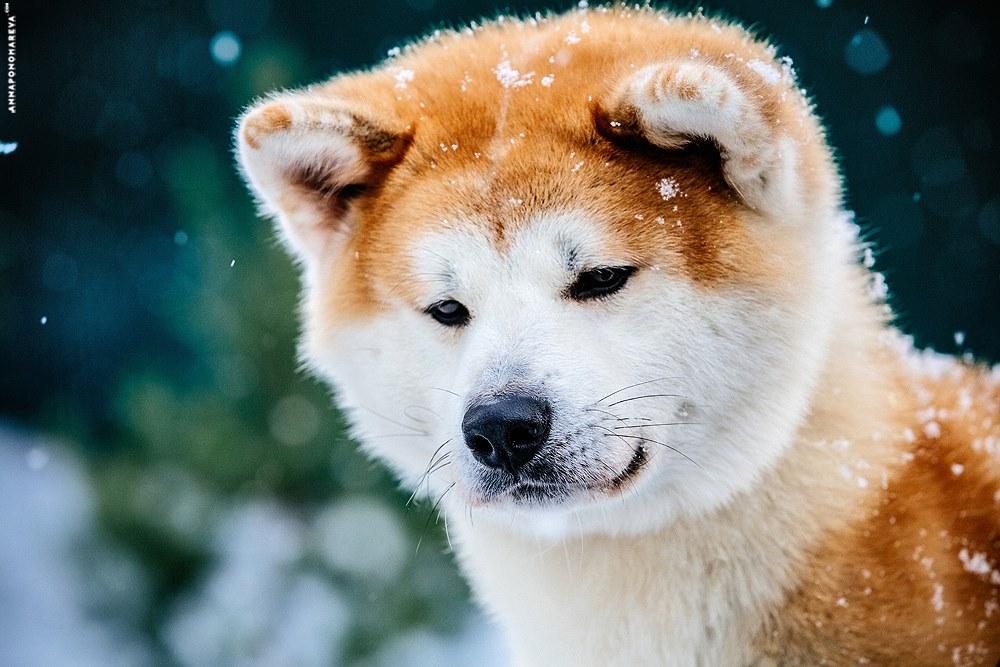 Хаски картинки щенок