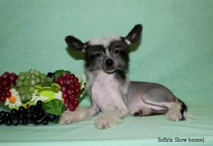 Китайская лысая хохлатая собака фото