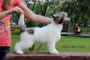 Китайская хохлатая собака пуховая фото