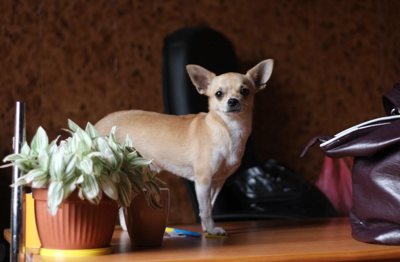 породы собак комнатных с фотографиями и названиями