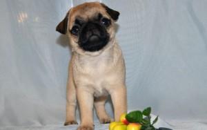 Мопс фото щенка
