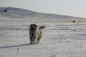 Пиренейская горная собака описание породы