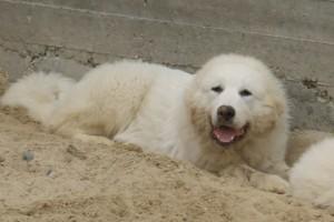 Пиренейская горная собака фото цена