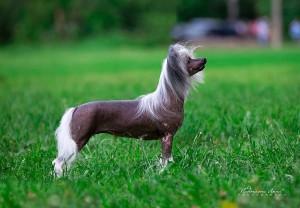 Порода собак китайская хохлатая фото