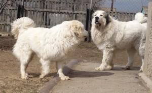 Порода собак пиренейская горная фото