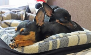 Породы комнатных собак