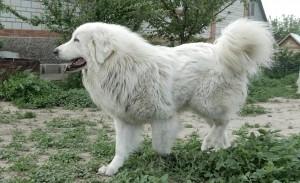 Фото пиренейской горной собаки