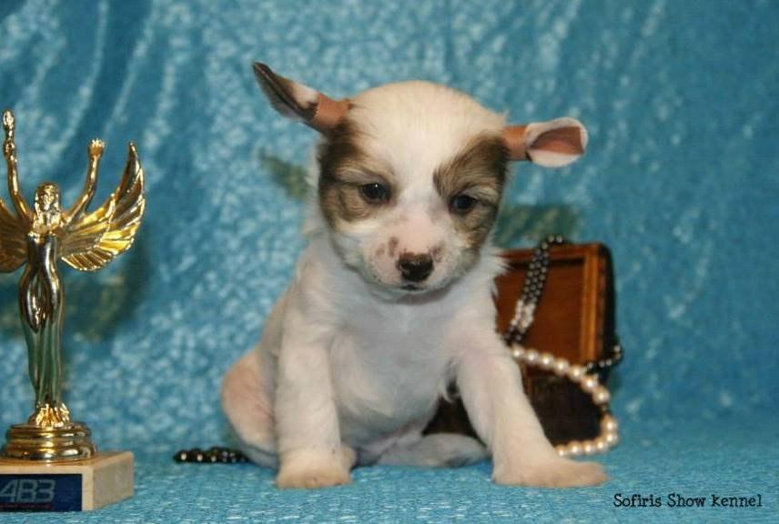щенки голой хохлатой собаки