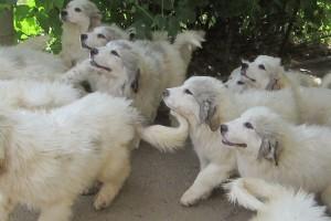 Щенки пиренейской горной собаки фото 2