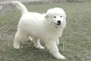 Щенки пиренейской горной собаки фото