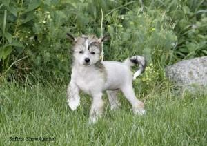 Щенок китайской хохлатой собаки фото