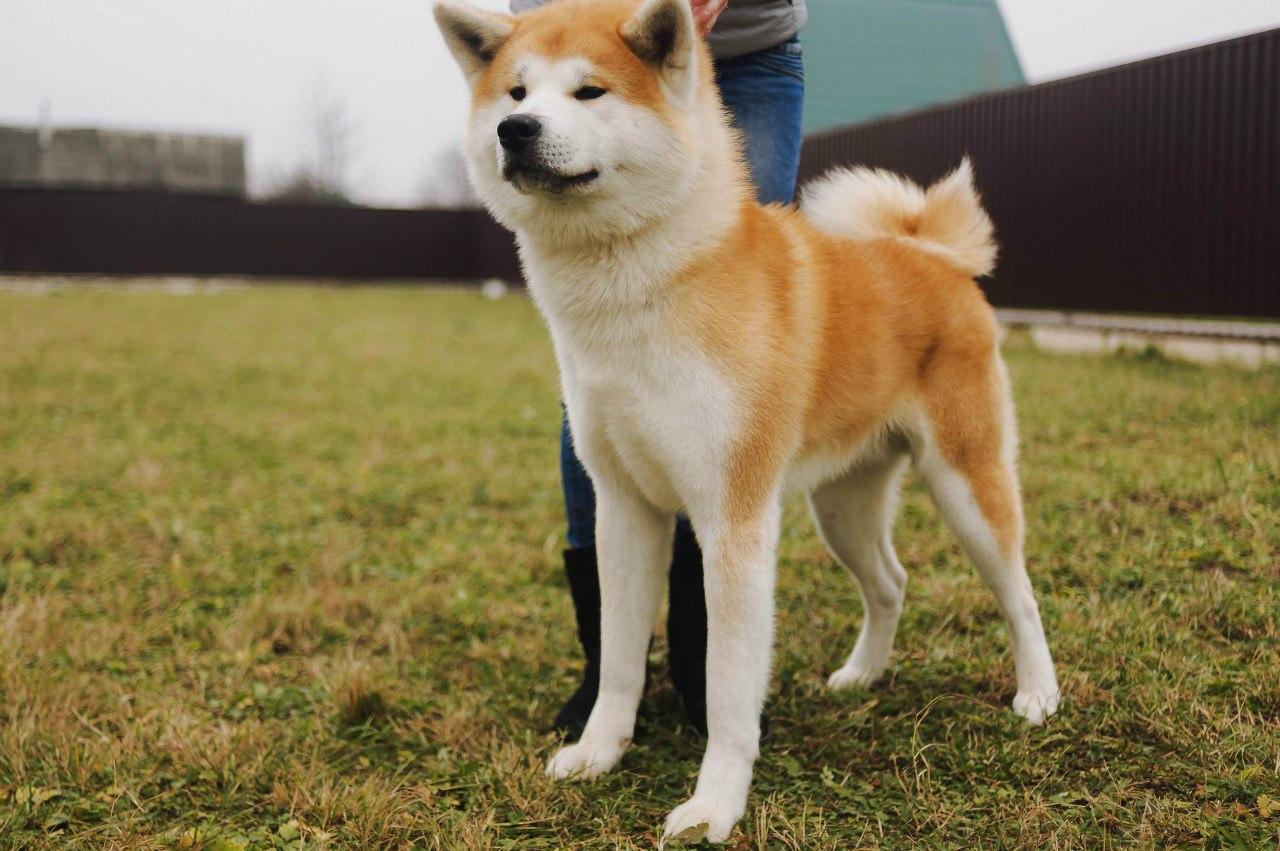 порода акита ину фото щенки для мастера шугарингу