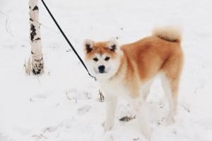 Акита ину фото щенка