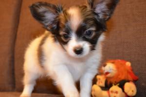 Папильон щенок фото