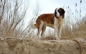 Порода собак из кинофильма Бетховен фото
