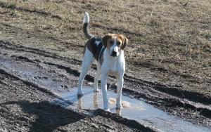 Порода собак русская гончая фото