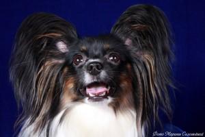 Собака бабочка папильон фото