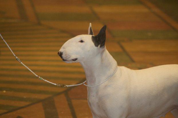 Фото собаки породы бультерьер