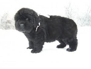 Купить щенка ньюфаундленда