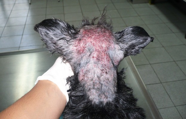 анализ на демодекоз у собаки