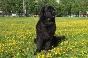 Ньюфаундленд водолаз собака