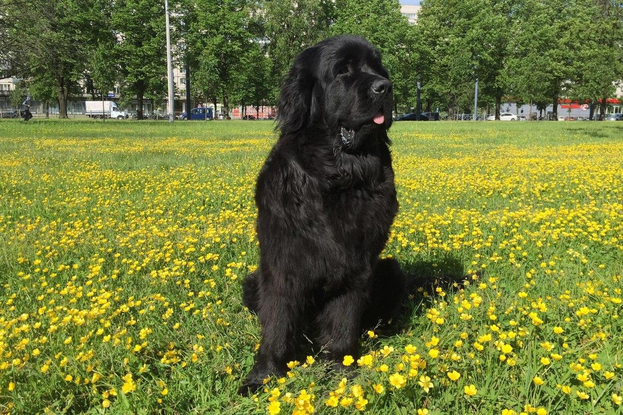 собака ньюфаундленд водолаз фото