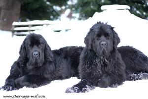 Ньюфаундленд порода собак