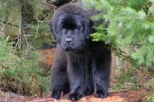 Ньюфаундленд собака описание